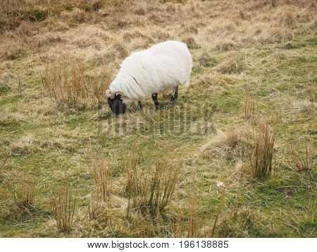 Wild sheep eating in the Highlands in Scotland