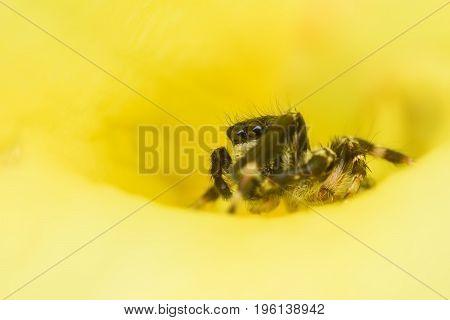 Super macro male Carrhotus Sannio or Jumping spider hiding inside yellow flower
