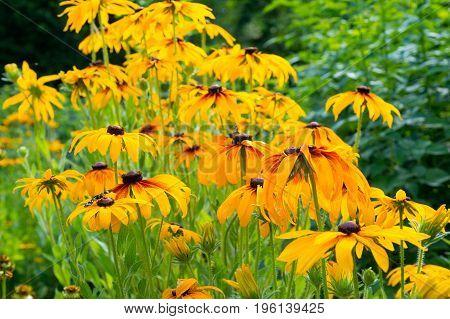 Yellow echinacea flowers growing in summer garden. Natural background