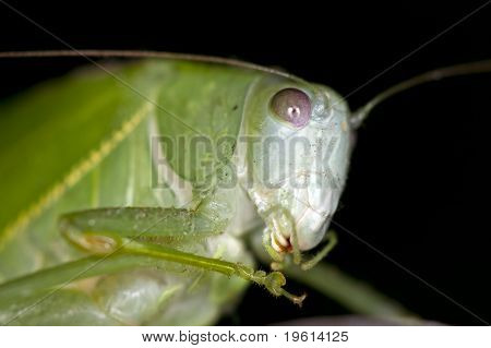 Grasshopper Macro At Night