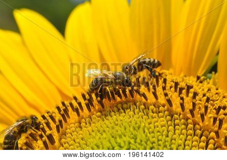 Honey Bee pollinating sunflower. Bee produces honey on a flower. Close-up shot of bee collect nectar on sunflower