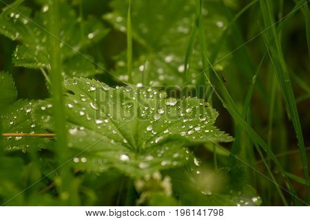 A beautiful water droplets on leaves of a lady mantle. Vibrant summer morning scenery.