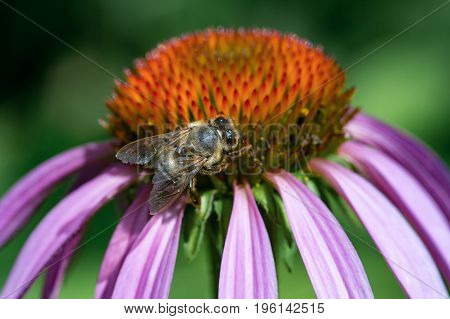 Bee collecting pollen on purple echinacea flower. Close-up