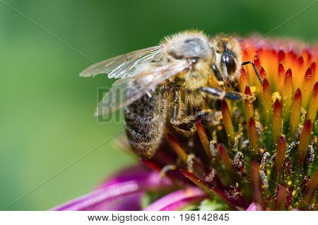 Close-up of a honey bee pollinating the purple flower