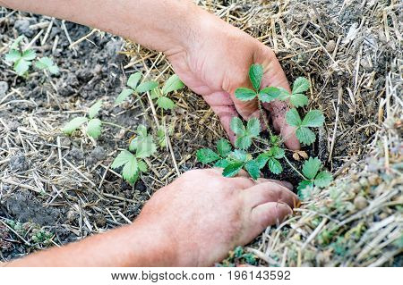 Farmer planting young strawberry plant into the soil