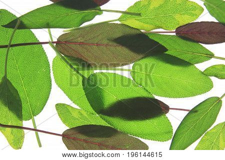 Leaves of various sage (salvia) isolated against white background