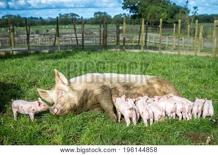 mummy pigs and piglets on a farm, rural background