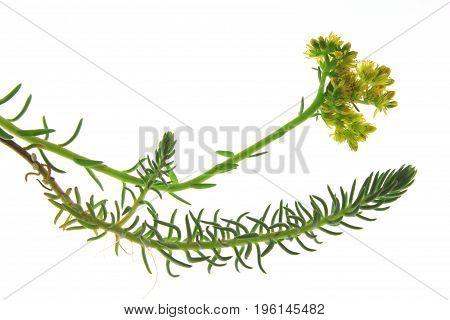 Prick-madam reflexed stonecrop or blue stonecrop (Sedum rupestre Sedum reflexum) isolated plant against white background