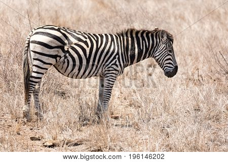 Zebra with healed scar on abdomen, which is the result of a predator attack. This animal is lucky to have survived this serious injury. Kruger National Park in South Africa.