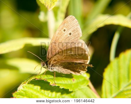 A Brown Ringlet Butterfly Resting On A Leaf With Its Wings Open