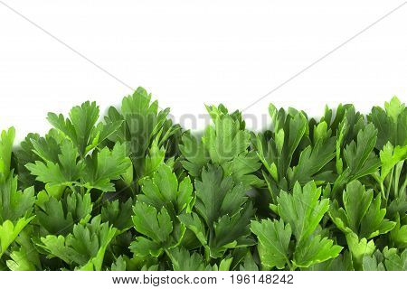 parsley bunch on white background, tasty, natural