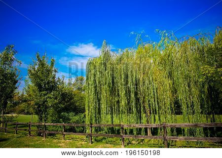 Willow tree in park with nice fence