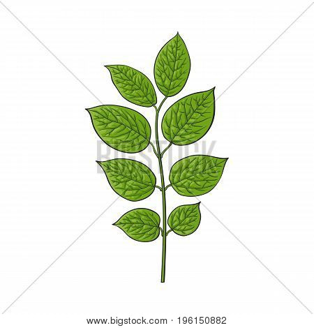 Beautiful honeysuckle leaves, twig, branch decoration element, sketch vector illustration isolated on white background. Realistic hand drawing of beautiful honeysuckle twig, floral decoration element