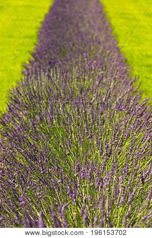 Isolated row of lavender flowers in a field
