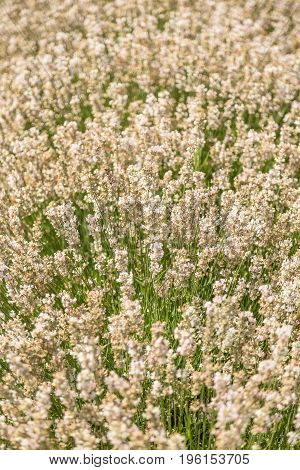Close up of white lavender flowers in a field
