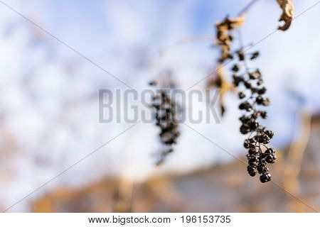 Shriveled pokeberry bush berries hanging isolated against sky
