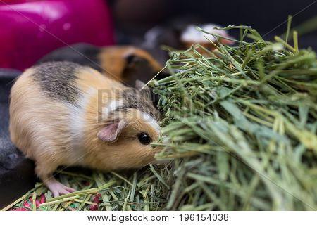 Closeup Of Calico Guinea Pigs Eating Dried Grass