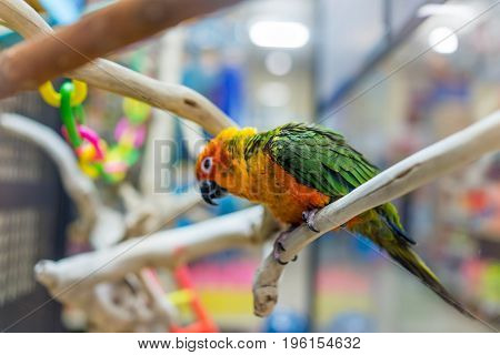 Sun Fancy Conure Colorful Parrot From The Side With Green Feathers In Cage