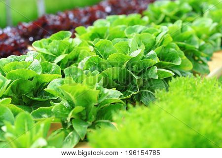 Organic hydroponic vegetable cultivation farm, Green cos lettuce.