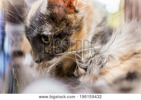 Profile Portrait Of Calico Kitten With Dark Face And Wet Hair