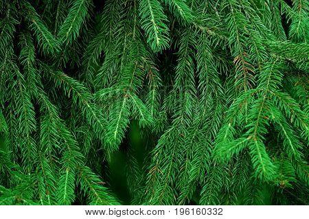 Photo of a fir tree. Branch needles texture.