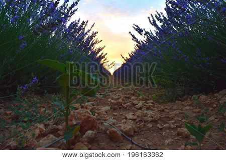 Lavender fields at ground level at dusk