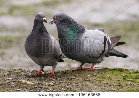 A male pigeon courting his mate with neck feathers puffed out showing off his iridescence