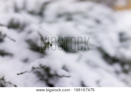 Juniper Tree Covered In Heavy Snow Macro Closeup