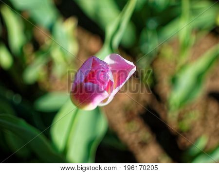 purple Tulip in the spring at the dacha, Russia