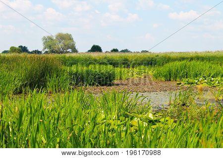 Aquatic plants in a swamp. Summer landscape