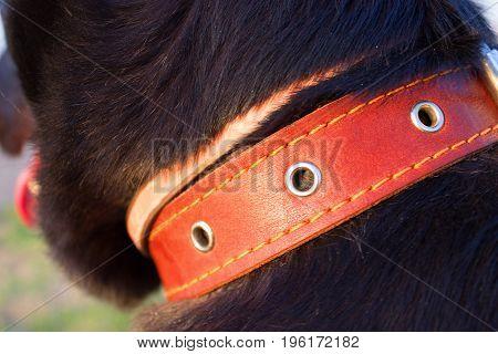 Close Up Of Dog Collar