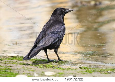 a Carrion Crow standing at the waters edge