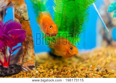 Two Goldfish Swimming In Aquarium By Plants