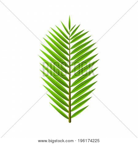 Green leaf from palm tree isolated on white background. Tropical exotic plant. Cartoon style. Vector illustration