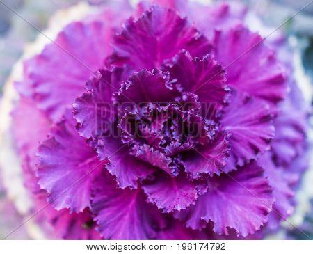 Flat Top View Closeup Of Purple Kale Plant In Garden
