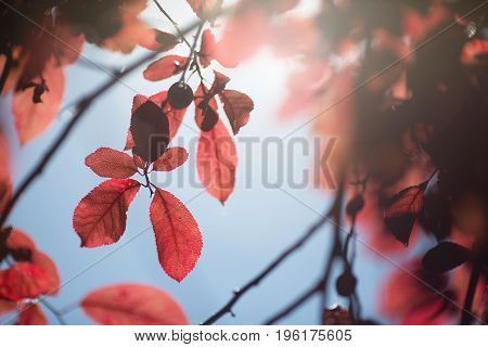 Amazing and colorful branches with red leaves on a sunny and bright blue background. Catching floral summer view. A concept of a spectacular environment. Fresh and red leaves of plum.