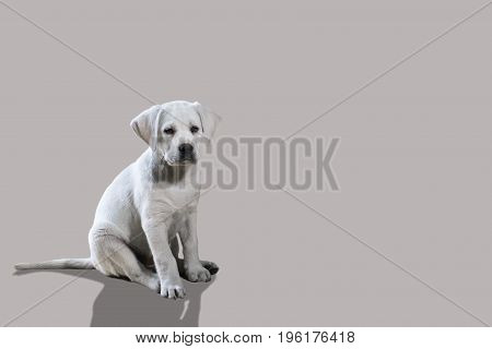 young cute isolated labrador retriever dog puppy in front of beige background