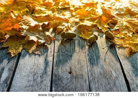 Fallen autumn maple oak and towering mountain ash leaves on old wooden floor lit by the morning sun