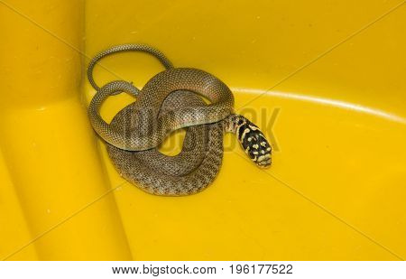 Portrait of grass snake (Natrix natrix) isolated on yellow background