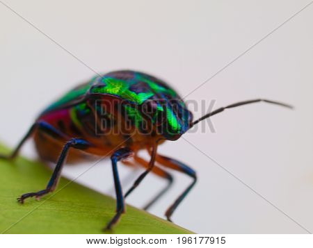 Rainbow shield bug Insects Beautiful little creature.