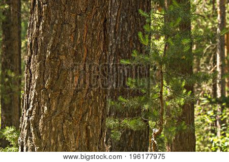 A pine trunk close-up with the pinewood at the background
