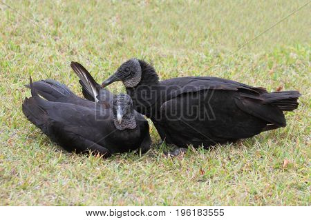 Pair of Black Vultures (Coragyps atratus) grooming on a lawn