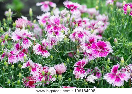 Pink and white cornflowers on meadow selective focus