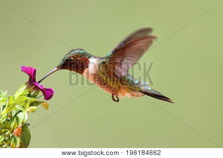 Ruby-throated Hummingbird (archilochus colubris) in flight at a flower with a colorful background