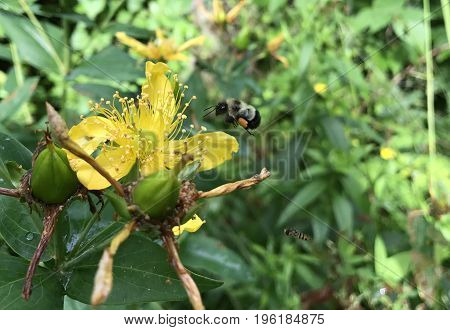 Bumble Bee gathering pollen from a wild flower with a blurred green plants background