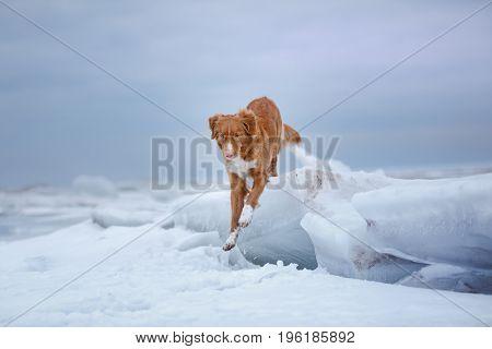Nova Scotia Duck Tolling Retriever Sits On The Ice