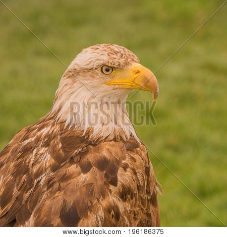 Portrait of a young bald eagle in captivity.