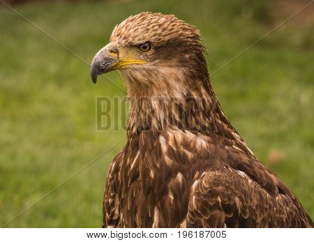 Portrait of a brown eagle in captivity.