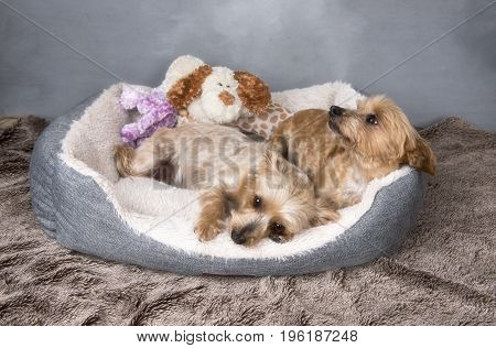 Two beautiful Yorkshire terriers laying in their basket, with a grey background