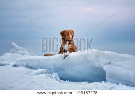 Nova Scotia duck tolling Retriever lies on the ice on a frozen lake